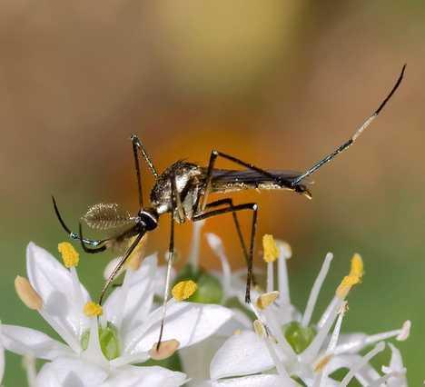 7种蚊子克星巨型象蚊幼时吃掉其他蚊子幼虫